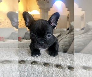 French Bulldog Puppy for Sale in EL PASO, Texas USA