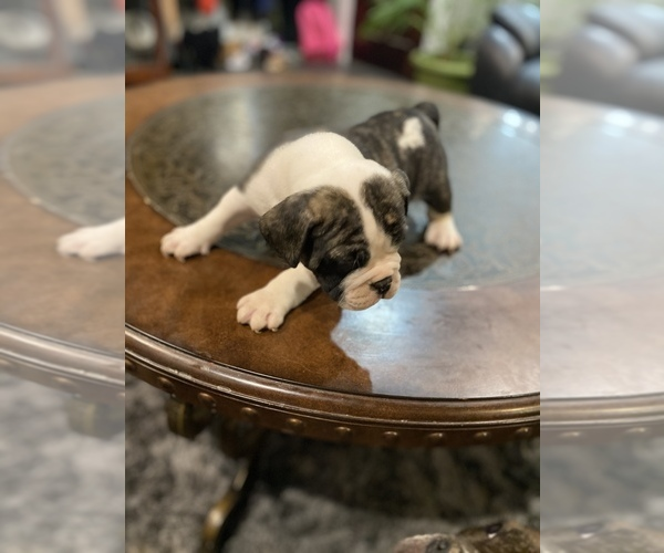 Medium Photo #8 American Bully Puppy For Sale in CORLISS, PA, USA