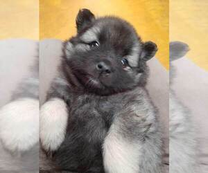 Keeshond Puppy for sale in WASHBURN, WI, USA