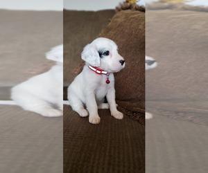 English Setter Puppy for sale in NEW MARKET, AL, USA
