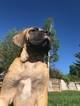 Mastiff Puppy For Sale in DENVER, CO, USA