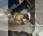 Small Photo #2 American Bulldog Puppy For Sale in DAVENPORT, IA, USA