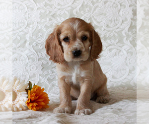 Cocker Spaniel Puppy for sale in PARADISE, PA, USA