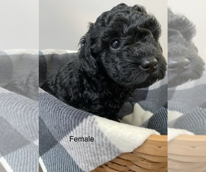 Miniature Labradoodle Puppy for Sale in ELSTONVILLE, Pennsylvania USA