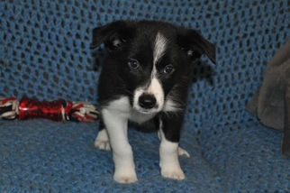 View Ad: Border Collie Puppy for Sale, Iowa, LE MARS