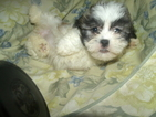 Havashu Puppy For Sale in PATERSON, NJ, USA