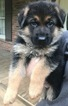 German Shepherd Dog Puppy For Sale in ROSWELL, Georgia,