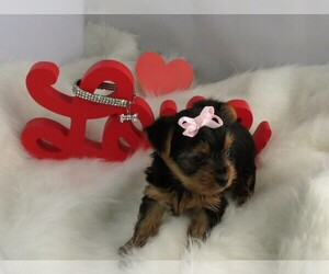 Yorkshire Terrier Puppy for sale in NICHOLSON, GA, USA