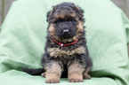 German Shepherd Dog Puppy For Sale in VANCOUVER, WA