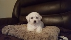 Bichon Frise Puppy For Sale in PASADENA, TX, USA