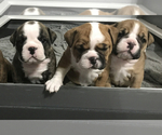 Small Photo #11 Bulldog Puppy For Sale in OAK RIDGE N, TX, USA