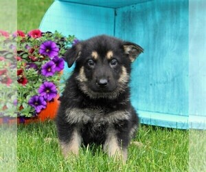 German Shepherd Dog Puppy for sale in PEACH BOTTOM, PA, USA