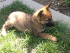 German Shepherd Dog Puppy For Sale in ESCONDIDO, CA