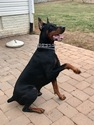 Doberman Pinscher Puppy For Sale in NOKESVILLE, VA