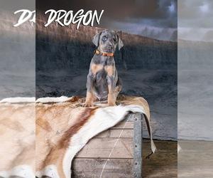Doberman Pinscher Dog for Adoption in ONARGA, Illinois USA