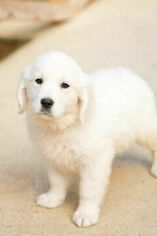 Golden Retreiver Engllish Cream