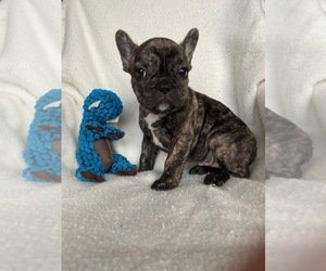 French Bulldog Puppy for Sale in COTATI, California USA