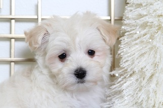 Maltipoo Puppy For Sale in BEL AIR, MD