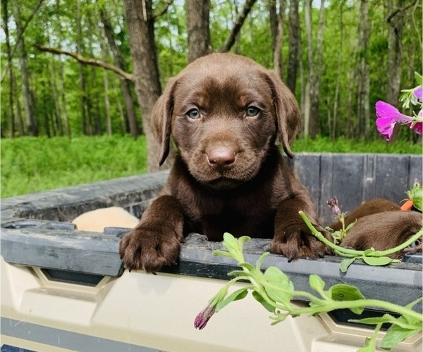 Medium Photo #9 Labrador Retriever Puppy For Sale in AVA, MO, USA
