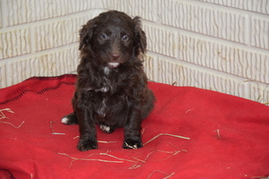 Aussiedoodle-Australian Shepherd Mix Dog For Adoption in FREDERICKSBURG, OH, USA