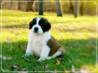 Saint Bernard Puppy For Sale in YPSILANTI, MI, USA