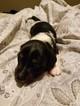 Dachshund Puppy For Sale in GODDARD, KS, USA