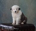 Australian Shepherd Puppy For Sale in ROBERTS, Illinois,
