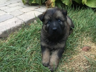German Shepherd Dog Puppy For Sale in LIBERTYVILLE, IL, USA