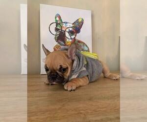 French Bulldog Puppy for Sale in CRANSTON, Rhode Island USA