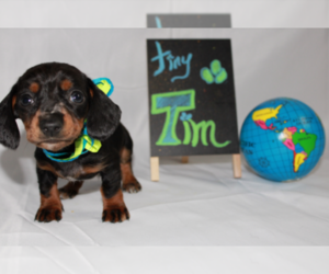 Dachshund Puppy for Sale in CLANTON, Alabama USA