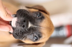 Boxer Puppy For Sale in CONROE, TX, USA