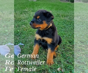 Rottweiler Puppy for sale in CASSVILLE, MO, USA