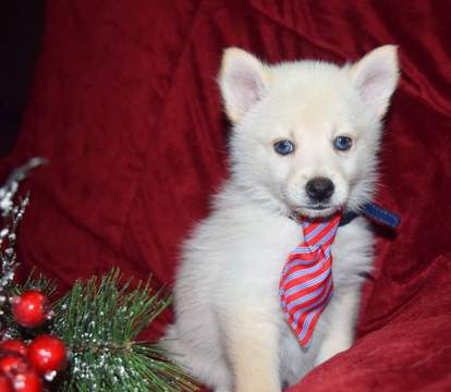 husky maltese view ad maltese siberian husky mix puppy for sale 6339