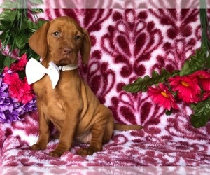 Vizsla Puppy for sale in CLAY, PA, USA