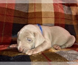 Weimaraner Puppy for sale in LAKE CITY, FL, USA