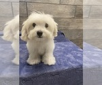 Small #2 Maltese-Poodle (Toy) Mix