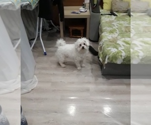 Maltese Dog for Adoption in BROOKLYN, New York USA