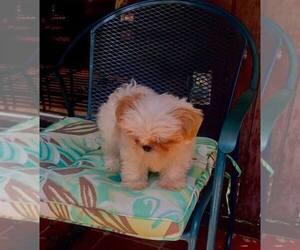 Shih Tzu Puppy for sale in PLANO, TX, USA