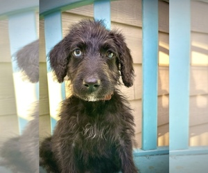 Labradoodle-Poodle (Standard) Mix Puppy for Sale in POLLOCK PINES, California USA