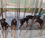 Small #72 Rottweiler