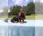 Puppy 5 Basset Hound