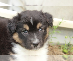 Australian Shepherd Puppy for Sale in CARMEL, Indiana USA