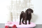 Labradoodle Puppy For Sale in BEL AIR, MD, USA