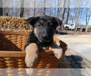 German Shepherd Dog Puppy for sale in ODON, IN, USA