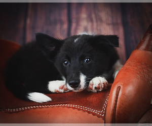 Find Puppies for Sale, Dogs for Sale, Dogs for adoption, Dog