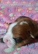 Bulldog Puppy For Sale in MARION, Virginia,
