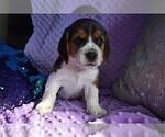 Small #19 Beagle