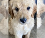 Puppy 0 Goldendoodle