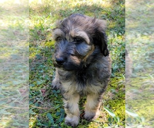 Aussiedoodle Dog for Adoption in ARCHDALE, North Carolina USA