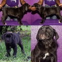 Cane Corso Puppy For Sale in TAMPA, FL, USA